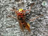 Hornisse - wissenschaftlicher Name: Vespa crabro | Foto: Berg-und-Naturwacht.org