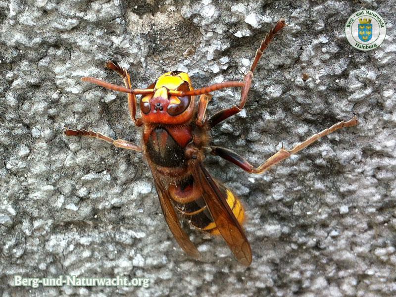 Hornisse wissenschaftlicher Name: Vespa crabro | Foto: Berg-und-Naturwacht.org