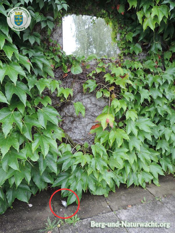 Genickbruch der Klappergrasmücke nach Kollision mit einem Spiegel | Foto: Berg-und-Naturwacht.org